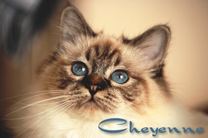 Heilige Birma Katze, Seal-Tabby-Point, Cyrielles Cheyenne